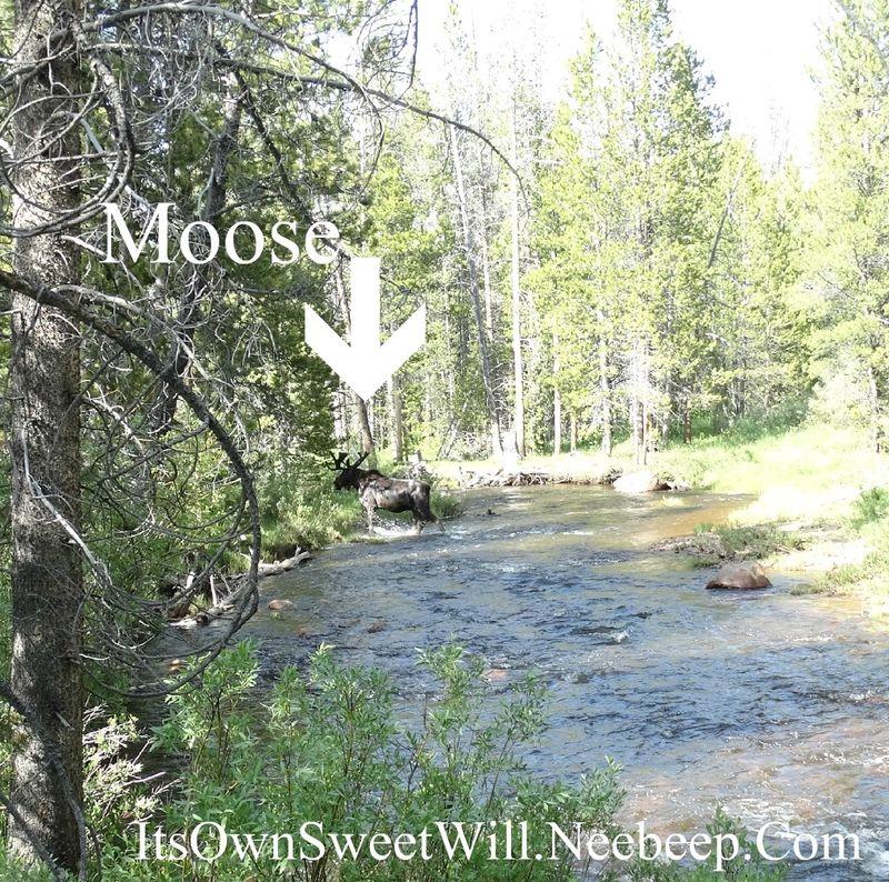 IOSW moose